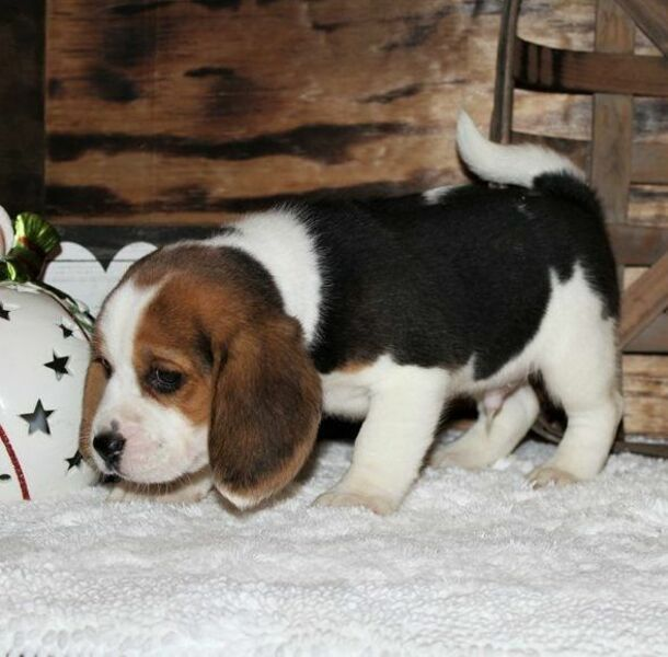 Quality Beagle Puppies Ready For Adoption Give Away For Sale