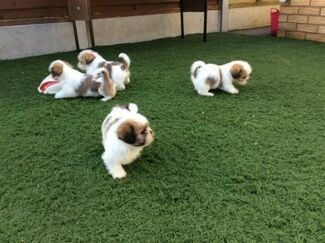 Dogs Puppies For Sale In Uk Loot