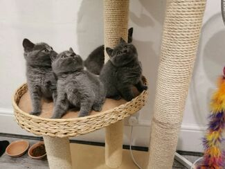 Cats Kittens For Sale In Uk Loot